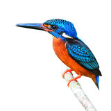 Blue-eared Kingfisher Royalty Free Stock Photos