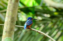 Blue-eared kingfisher Royalty Free Stock Image