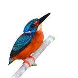 Blue-eared Kingfisher bird Stock Image