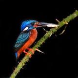 Blue-eared kingfisher bird Royalty Free Stock Photos