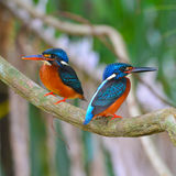 Blue-eared Kingfisher bird Stock Image