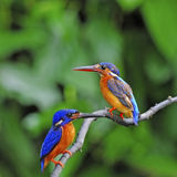 Blue-eared Kingfisher Stock Images
