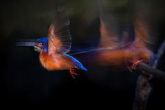 Blue-eared kingfisher Flying Stock Image