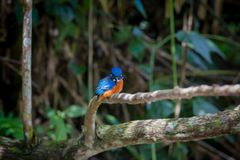 Blue eared kingfisher at Kaoyai Thailand. Blue-eared kingfisher perching on the branch over a stream looking for some fish,Khaoyai National Park,Thailand royalty free stock photo