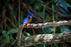 Blue eared kingfisher at Kaoyai Thailand. Blue-eared kingfisher perching on the branch over a stream looking for some fish,Khaoyai National Park,Thailand Royalty Free Stock Image