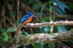 Blue eared kingfisher at Kaoyai Thailand. Blue-eared kingfisher perching on the branch over a stream looking for some fish,Khaoyai National Park,Thailand Stock Image