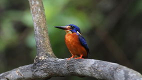 Blue-eared Kingfisher (male) stock video footage