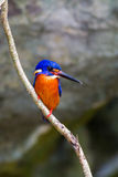 Blue-eared Kingfisher (male) Stock Photo