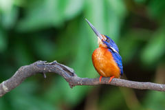 Blue-eared Kingfisher (male) Royalty Free Stock Photography
