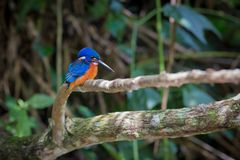 Blue eared kingfisher at Kaoyai Thailand. Blue-eared kingfisher perching on the branch over a stream looking for some fish,Khaoyai National Park,Thailand stock images