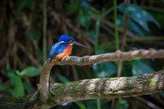 Blue eared kingfisher at Kaoyai Thailand. Blue-eared kingfisher perching on the branch over a stream looking for some fish,Khaoyai National Park,Thailand Stock Photography
