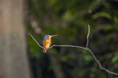 Blue Eared Kingisher on Branch royalty free stock photo