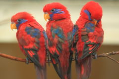 Blue-eared lory Royalty Free Stock Image