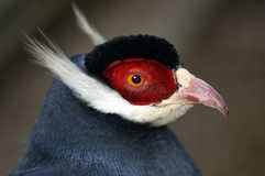 Blue Eared Pheasant Royalty Free Stock Photos