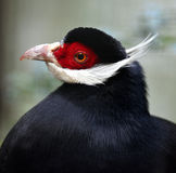 Blue Eared Pheasant Stock Photo