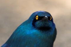 Blue-Eared Starling. Extreme close up of a Greater Blue-Eared Starling Royalty Free Stock Images