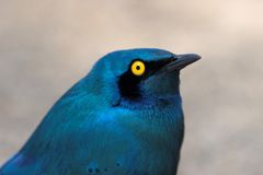 Blue-Eared Starling Royalty Free Stock Image