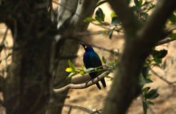 Blue-eared Starling Royalty Free Stock Photo