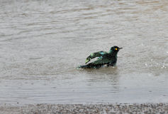 A Blue-eared Starlings taking bath Royalty Free Stock Photos