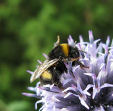Blue echinops and bumblebee. Macro blue echinops and bumblebee green background Royalty Free Stock Photos