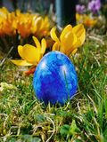 Blue egg on meadow with crocusses. A blue egg on a meadow with crocusses Stock Photos