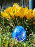 Blue egg on meadow with crocusses Stock Photography