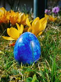 Blue egg on meadow with crocusses Royalty Free Stock Photo