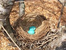 Blue eggs in a nest. Small blue egg in a nest on a tree Royalty Free Stock Photography