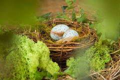 Blue eggs in nest Stock Photos