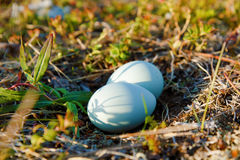 Blue eggs in the wild Royalty Free Stock Photos