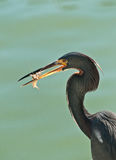 Blue Egret with a shrimp for next meal Royalty Free Stock Photo