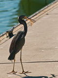 Blue Egret walking on a concrete boat dock with a shrimp. Egret walking on a concrete boat dock with a shrimp, caught in the tropical water of Hamilton Harbor on Stock Photography