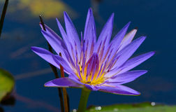 Blue Egyptian lotus Stock Photography