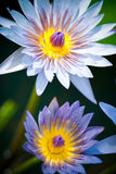 Blue Egyptian water lilies Royalty Free Stock Photo