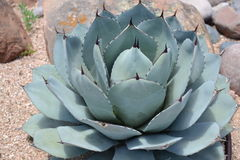 Blue Emperor Agave Plant for Xeriscaping Royalty Free Stock Image