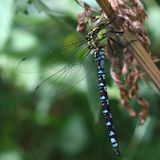 Blue emperor dragonfly Anax imperator is a larger hawker. Dragonfly from africa and most of Europe royalty free stock photography