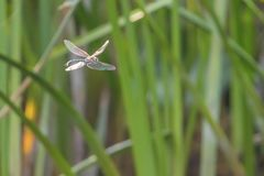 Blue Emperor Dragonfly hovering in flight Anax imperator stock photography