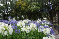 Blue en white flowers in Funchal Royalty Free Stock Image