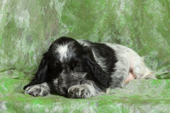 Blue English Cocker Spaniel puppy Royalty Free Stock Images