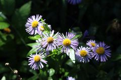 Blue Erigeron flower in the shade Stock Photography