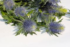 Blue Eryngium flower Stock Image
