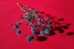Eryngium planum plant stock image