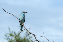 Blue european roller in kruger national park Stock Photography