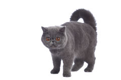 Blue exotic cat in studio Royalty Free Stock Photography