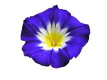 Blue Exotic Morning Glory Stock Photos