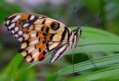Blue Eye. Colorful butterfly sitting on a leaf Stock Images