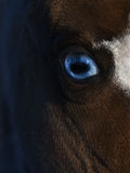 Blue eye of American miniature horse Royalty Free Stock Photos