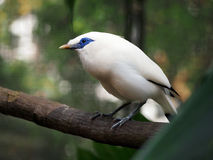 Blue eye Bali myna Stock Photography