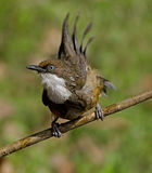 Blue eye bird: White throated Laughing thrush after a bath Royalty Free Stock Images