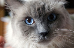 Blue eye cat Stock Photography